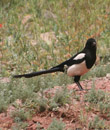 iran, a bird in the nature of abyaneh village