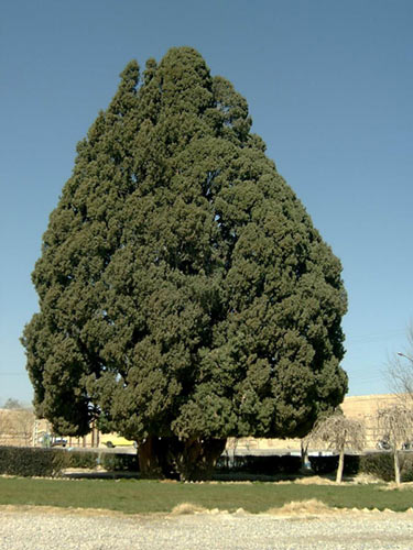 cupresus sempervirens second oldest tree in the world