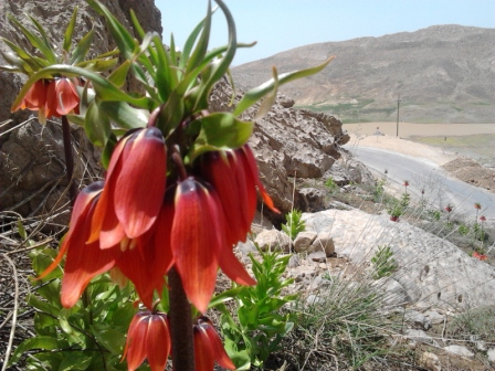 Iran Wild Flowers Tour Wild Flowers Of Persia Visiting