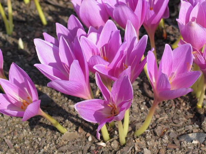 Colchicum in Autumn