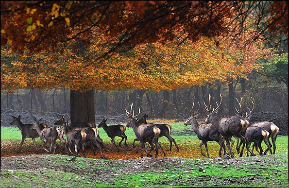 Iranian deer