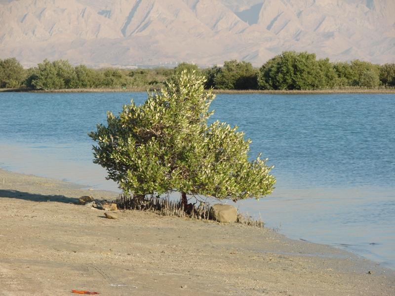 Asaluyeh Mangroves