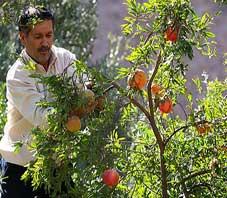 iran,shiraz,picking,pomegranate
