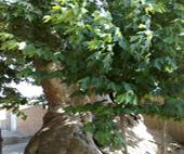 iran_fars_maharloo_chenar