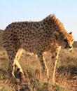 Iran, Iranian cheetah, Kushki