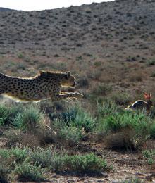 Iran, asian cheetah, Kushki is chasing a prey